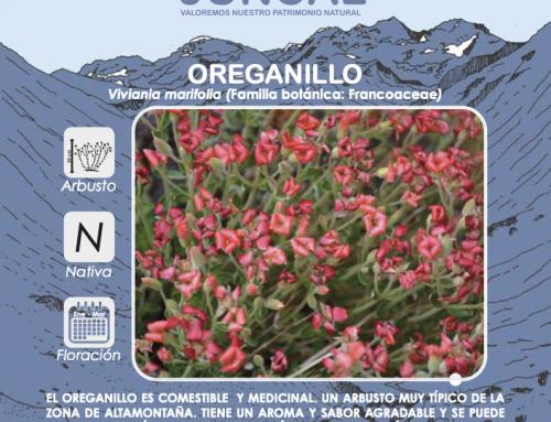 Oreganillo